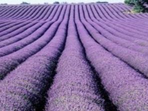 2-Day Montreal, Lavender Farm, Ostrich Farm Tour From Toronto