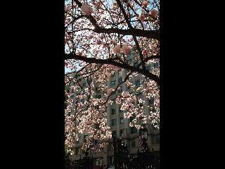 washington dc, dc, cherry blossom