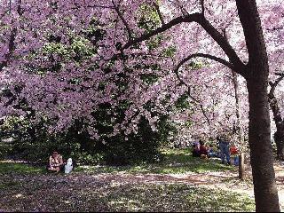 Cherry Trees, DC, East Coast, Cherry Blossom Tours
