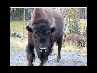 wyoming, yellowstone, yellowstone national park, buffalo