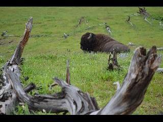 wyoming, yellowstone, buffalo