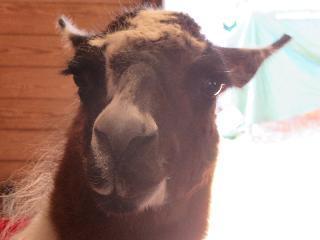 massachusetts, plymouth, plimouth plantation, llama