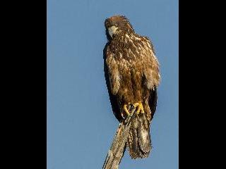 Maine, eagle