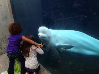 connecticut, mystic, mystic aquarium, beluga whale