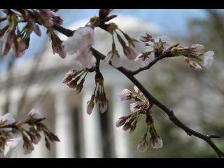 jefferson memorial, jefferson, washington dc, dc, cherry blossoms