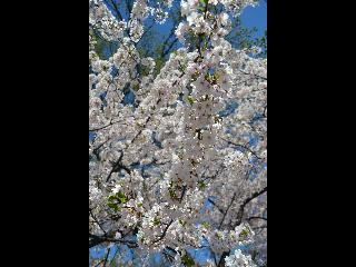 washington dc, dc, cherry blossoms