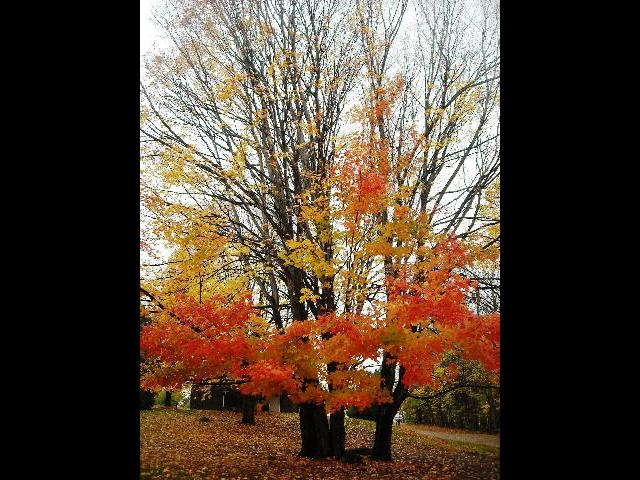 Maple trees in color