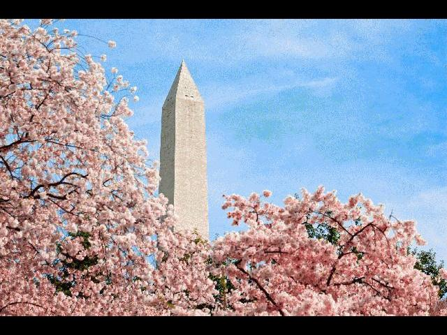 Washington Monument surrounded by beautiful cherry blossoms