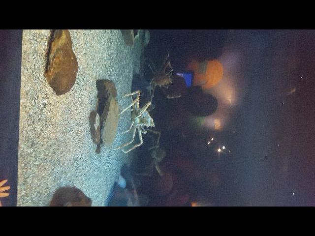 Japanese Spider crab in Mystic Connecticut
