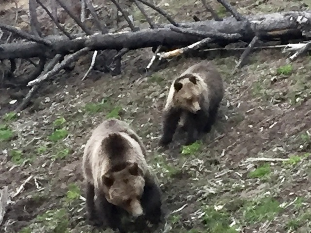 Wildlife at the Yellowstone park, seeing bear upclose