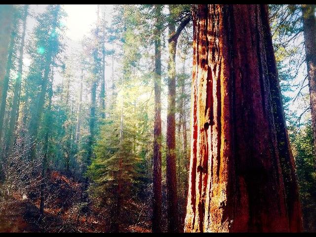 The silence has a sound; grand sequoia grove