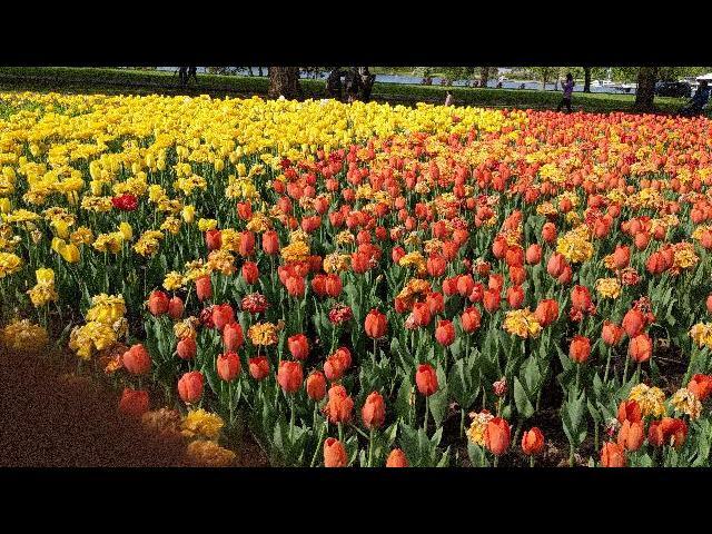 Tulip festival, ottawa