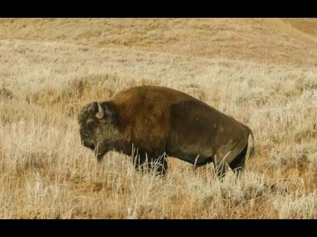 Buffalo sighting