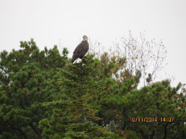 Bald Eagle during nature cruise