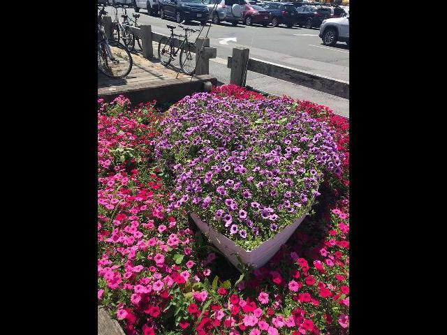 Getting ready to go whale watching...flowers along the boardwalk.