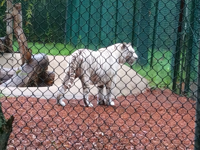 York Wild Kingdom-White Bengal Tiger