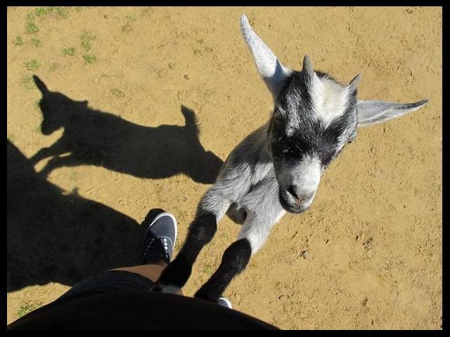 Goat feeding at York Wild Kingdom Zoo
