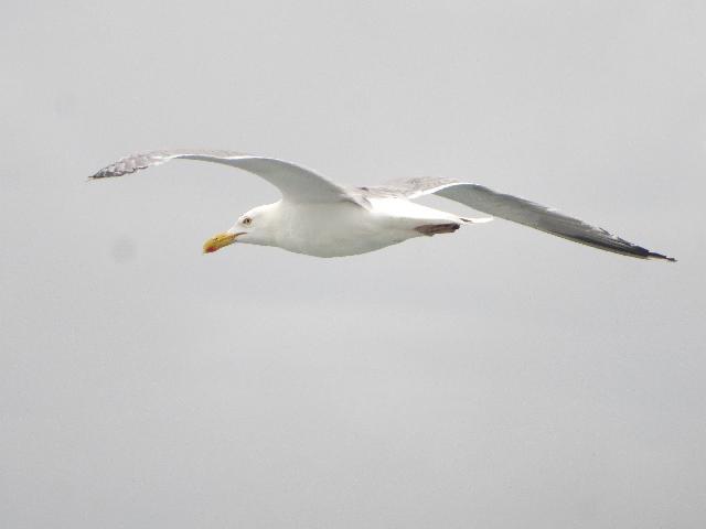 Seagull bird flying alongside of Martha's Vineyard Island in Massachusetts USA
