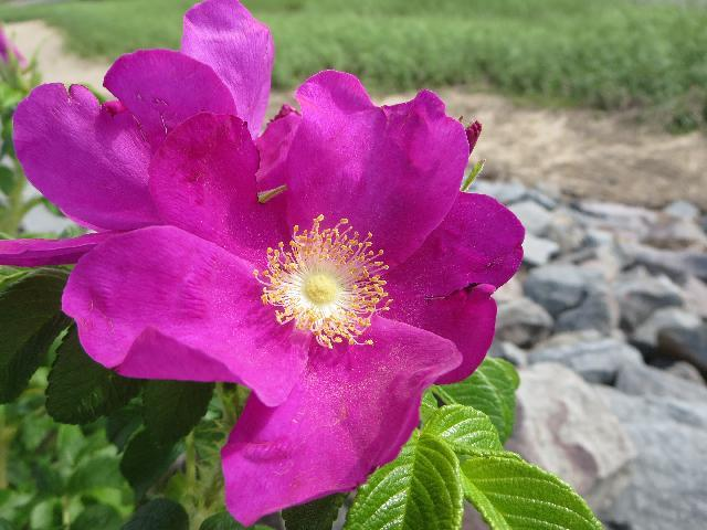 Purple summer flower growing alongside of Provincetown Harbor in Cape Cod, Massachusetts USA
