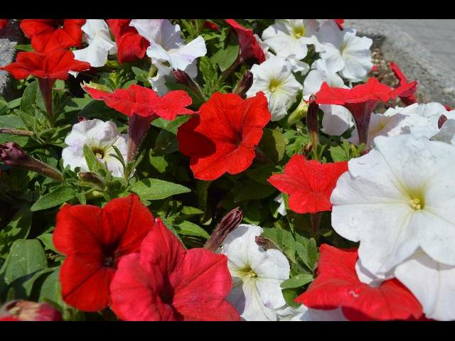 The National Flag of Canada colors red and white flower bed in Toronto, Ontario, Canada