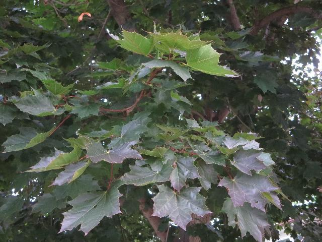 Canadian maple leaf tree in Toronto, Ontario, Canada