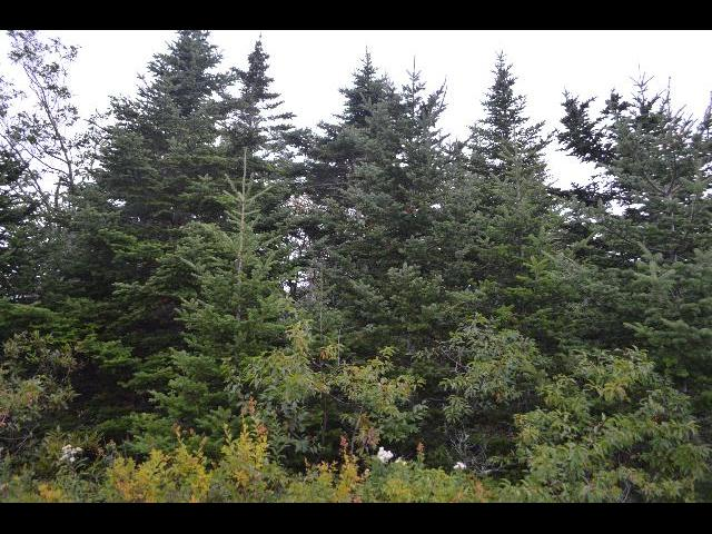 Tall pine Christmas Trees in Acadia National Park, Cadillac Mountain, Mount Desert Island, Bar Harbor, Maine, USA
