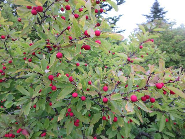 Winterberry Holly shrub with red berries growing on Cadillac Mountain, Mount Desert Island, Acadia National Park, Bar Harbor, Maine, USA