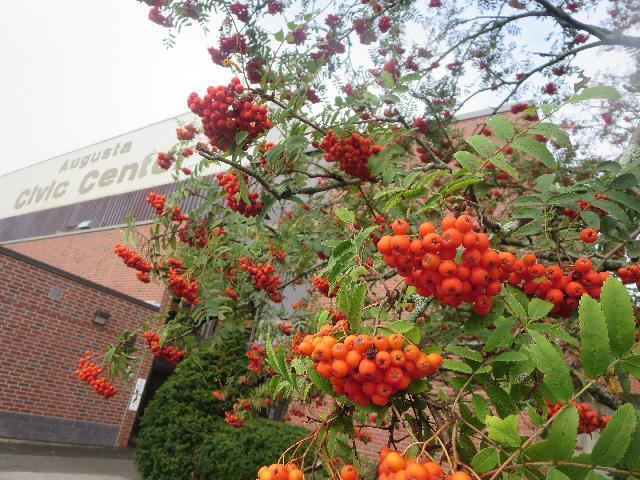 Rowan orange berry tree at the Augusta Civic Center arena in Augusta, Maine, USA