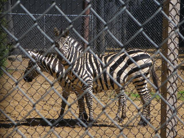 Zebras at York's Wild Kingdom in York Beach, Maine, USA