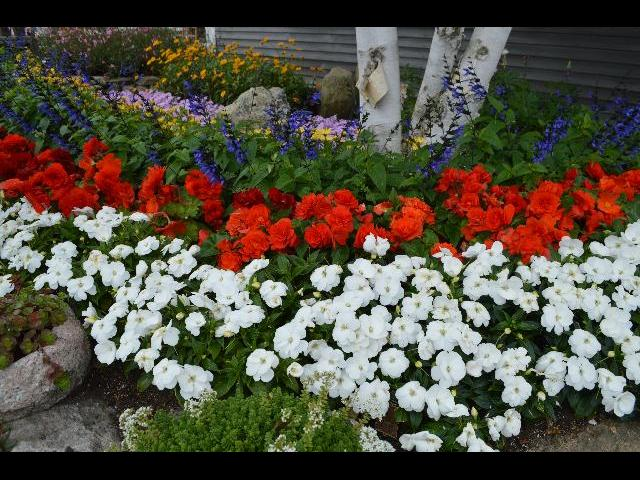 Red white and blue Fourth of July summer flower bed in Provincetown, Cape Cod, Massachusetts, New England, USA
