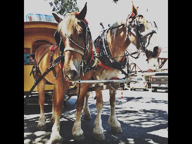 Tour horses in Solvang, CA