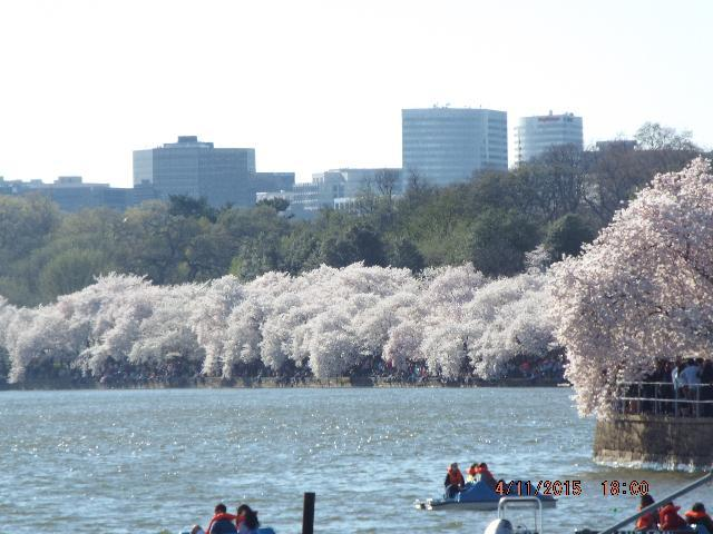 tidal basin cherry blossoms 2015