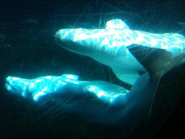 Beluga whales at Mystic aquarium