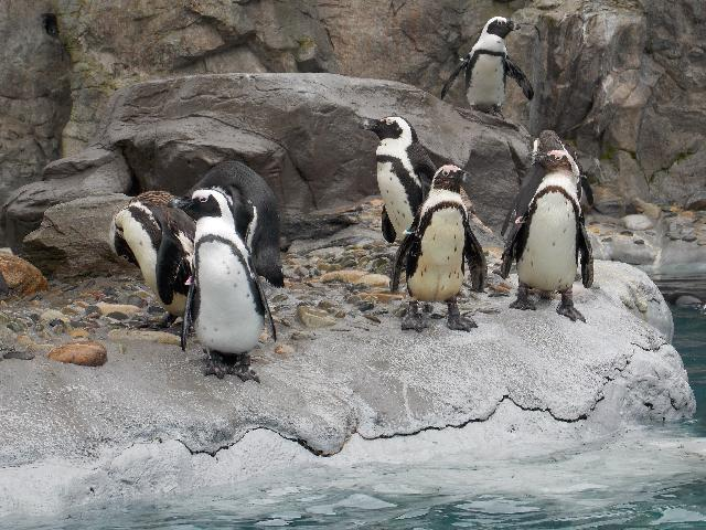 Penguins at Mystic Aquarium