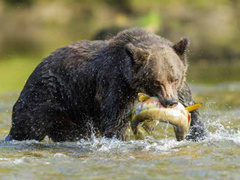 4-Day Great Bear Lodge, Port Hardy, Grizzly and Black Bear Viewing