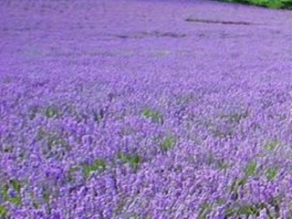 1-Day Eastern Township and Blue Lavender Tour from Montreal