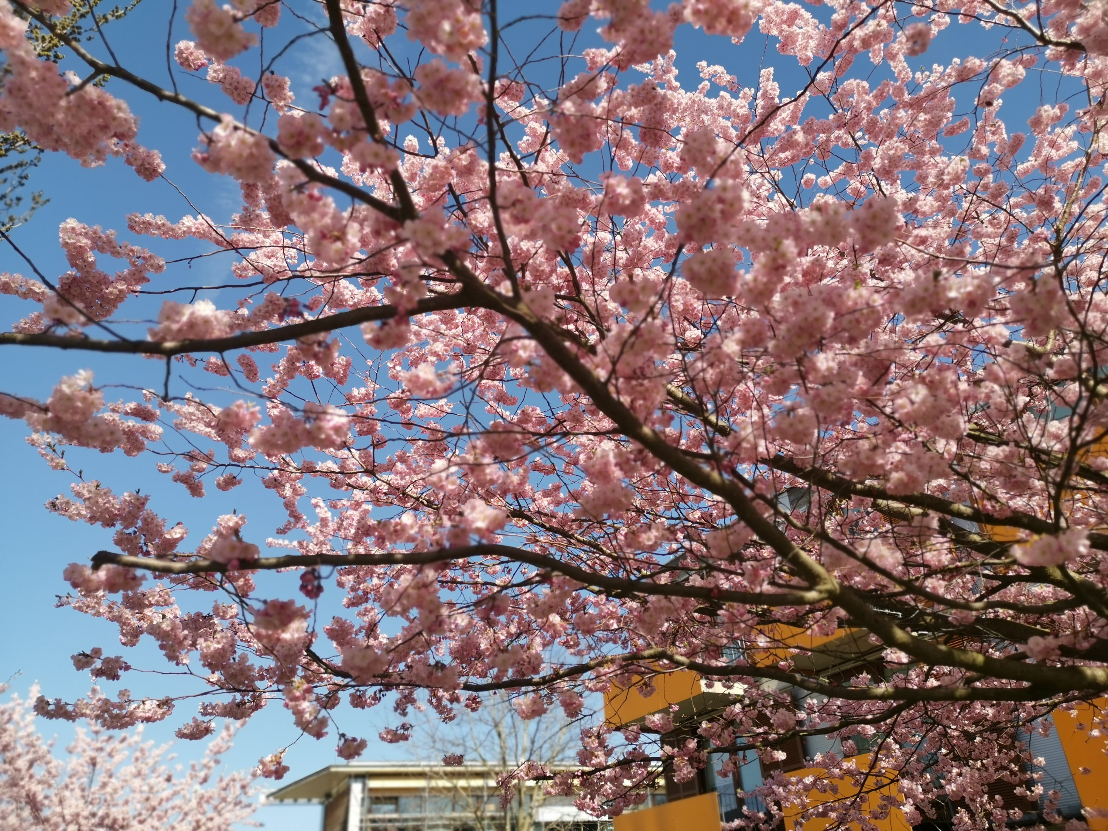 2-Day Washington DC Cherry Blossom Festival, Hershey Chocolate World Tour from New York